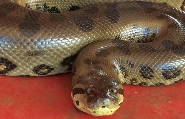 Cobra Sucuri é encontrada no Tropical Hotel em Manaus – Expresso AM